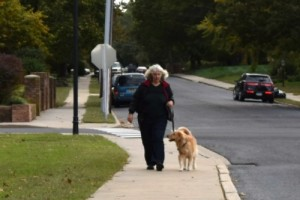 Honey the golden retriever is with me walking on a loose leash.