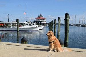 Honey the golden retriever poses at the Cambridge lighthouse.
