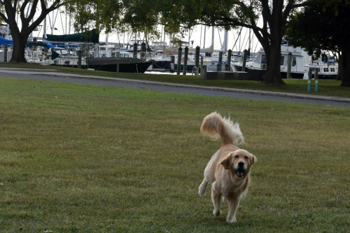 Honey the golden retriever plays fetch in the field next to Cambridge marina.