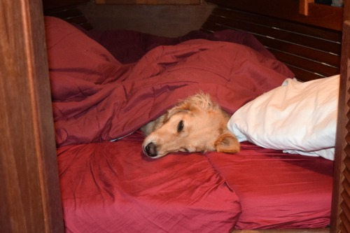 Honey the golden retriever goes under cover.
