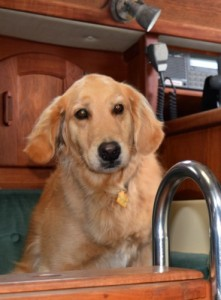 Honey the golden retriever lands safely in the cabin of the sailboat.