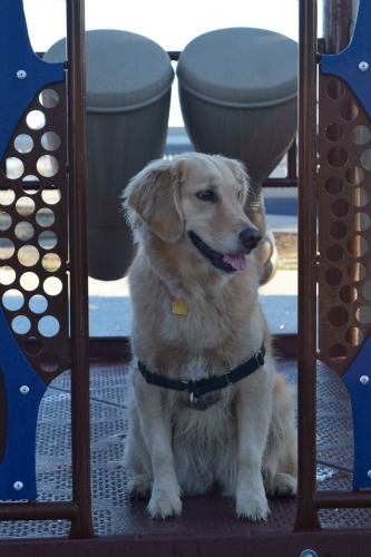 Honey the golden retriever at the playground - where should she land?