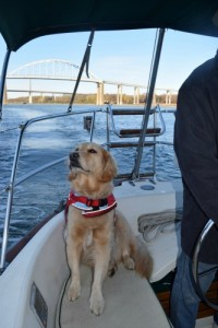 Honey the golden retriever sniffs out adventures on the boat.