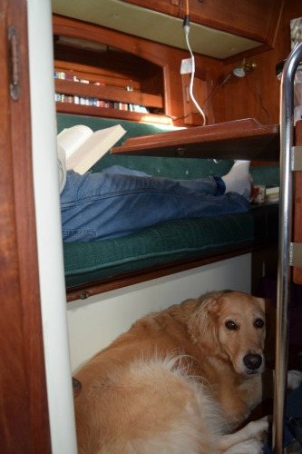 Honey the golden retriever naps under the table to keep an eye on Mike.