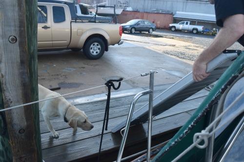 Moose the labrador retriever dock dog looks at Honey's boat ramp.