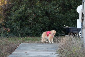 Honey the golden retriever on the dock.