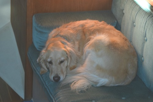 Honey the golden retriever dozes in the sailboat cabin.