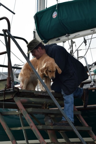 Honey the golden retriever being carried down boat steps.