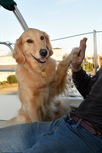 Honey the golden retriever high five.