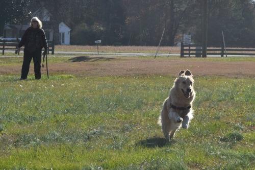 Honey the golden retriever runs to her favorite playmate.