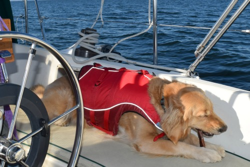 Honey the golden retriever chews on a bully stick underway on Chesapeake Bay.