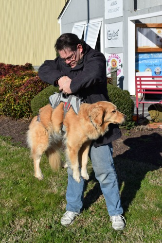 Honey the golden retriever being lifted by her Ruffwear doubleback harness.