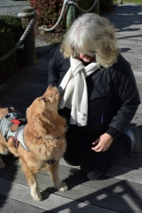 Honey the golden retriever in her Ruffwear Doubleback harness with pam.
