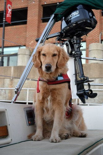 Honey the golden retriever in her life jacket in the boat at Hampton dock.