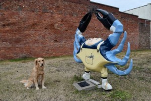 Honey the golden retriever wonders about Crabby.