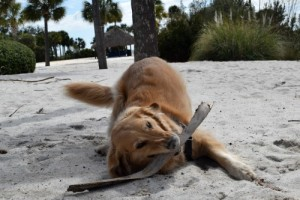 Honey the golden retriever loves playing in sand. If only it helped her recall.