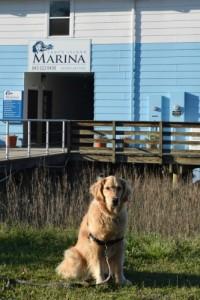 Honey the golden retriever at Lady's Island Marina.