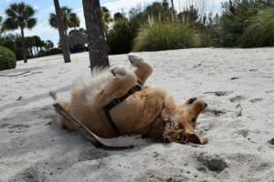 Honey the golden retriever rolls in the sand.