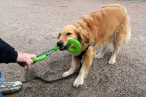 Honey the golden retriever plays tug in Waterfront Park in Charleston.
