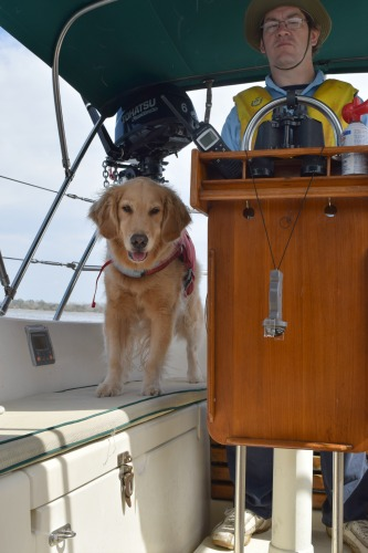 Honey the golden retriever has boat dog adventures.