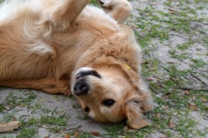 Honey the golden retriever feels at home rolling in sand.