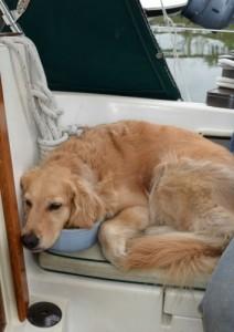 Honey the golden retriever fell asleep in her water bowl.