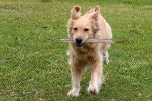 Honey the golden retriever runs to help people and animals.