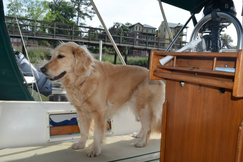 Honey the golden retriever keeps a soft watch.