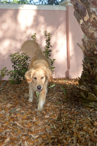 Honey the golden retriever comes out of hiding.
