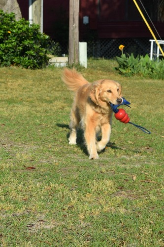Honey the golden retriever learns recall through play.