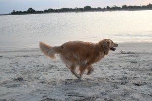 Honey the golden retriever running on the beach.