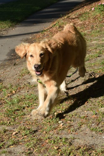 Honey the golden retriever comes running.