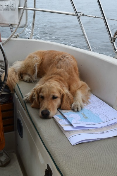 Honey the golden retriever sleeps on chart in sailboat cockpit.