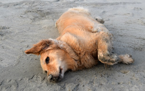 Honey the golden retriever rolls in the sand on the beach.