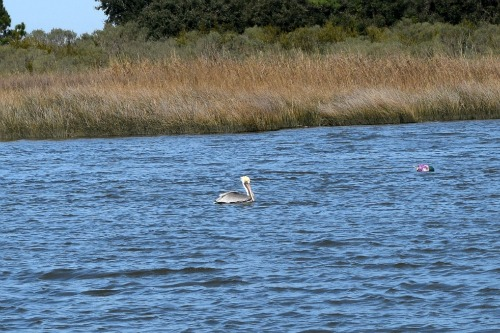 A pelican swims in the ICW.