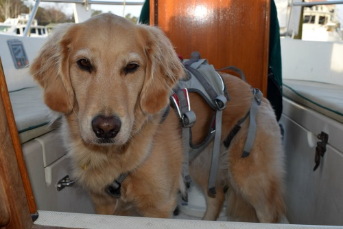 Honey the golden retriever wants to go for a walk.