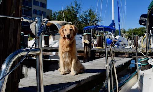 Honey the golden retriever on the finger pier near the boat.