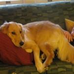 Golden Retriever lying on man.