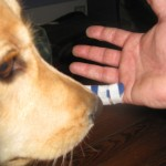Golden Retriever sniffing finger