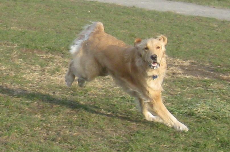 Golden Retriever running at the dog park