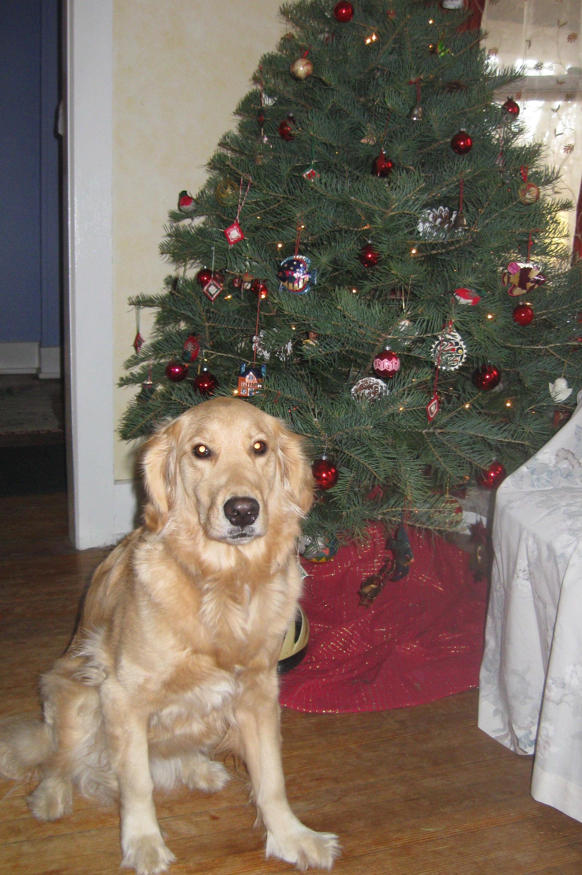 Golden Retriever and Christmas Tree