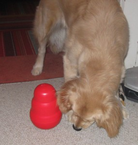 Golden Retriever plays with Kong Wobbler food toy.