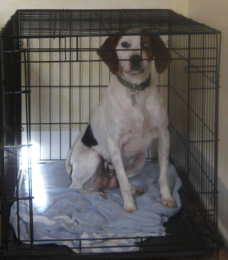 Cherie the hound mix in a crate
