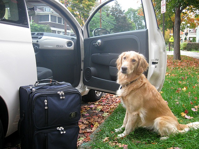 Golden Retriever is ready for a road trip