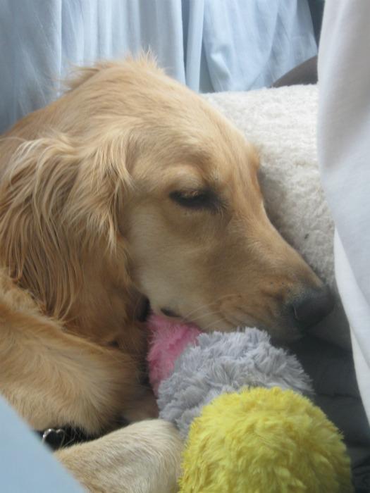 Golden Retriever sleeping in back seat of car