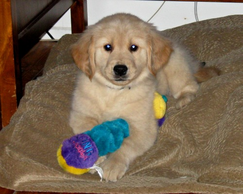 Honey the Golden Retriever as a cute puppy with her toy.