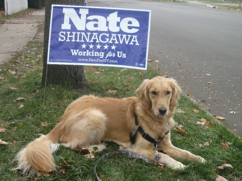 Honey the Golden Retriever After the Election