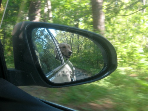 Honey the Golden Retriever as seen in the rear view mirror of the car.