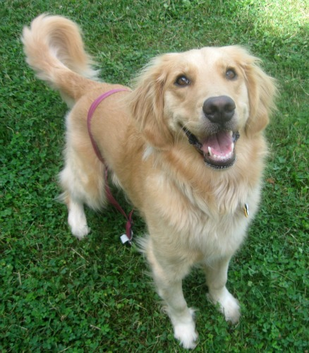Honey the Golden Retriever smiles while waiting for her ball.