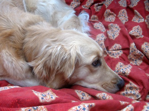 Honey the Golden Retriever will sleep on the bed when the pet sitter comes.